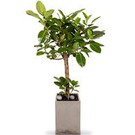 뱅갈고무나무(명품)